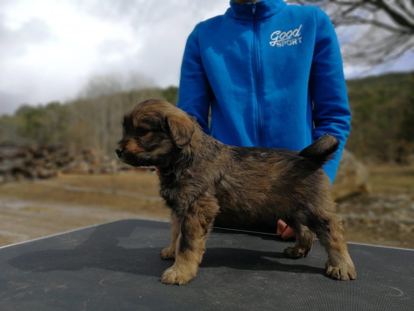 Cadells Gos Català d'Atura de la Cinglera